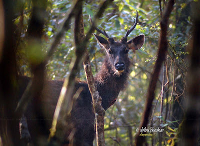 Sambar Deer