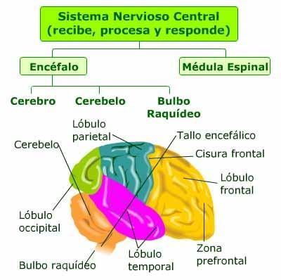 SISTEMA NERVIOSO Y MOTRICIDAD | neurodesarrollo