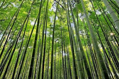 hutan bambu sagano5