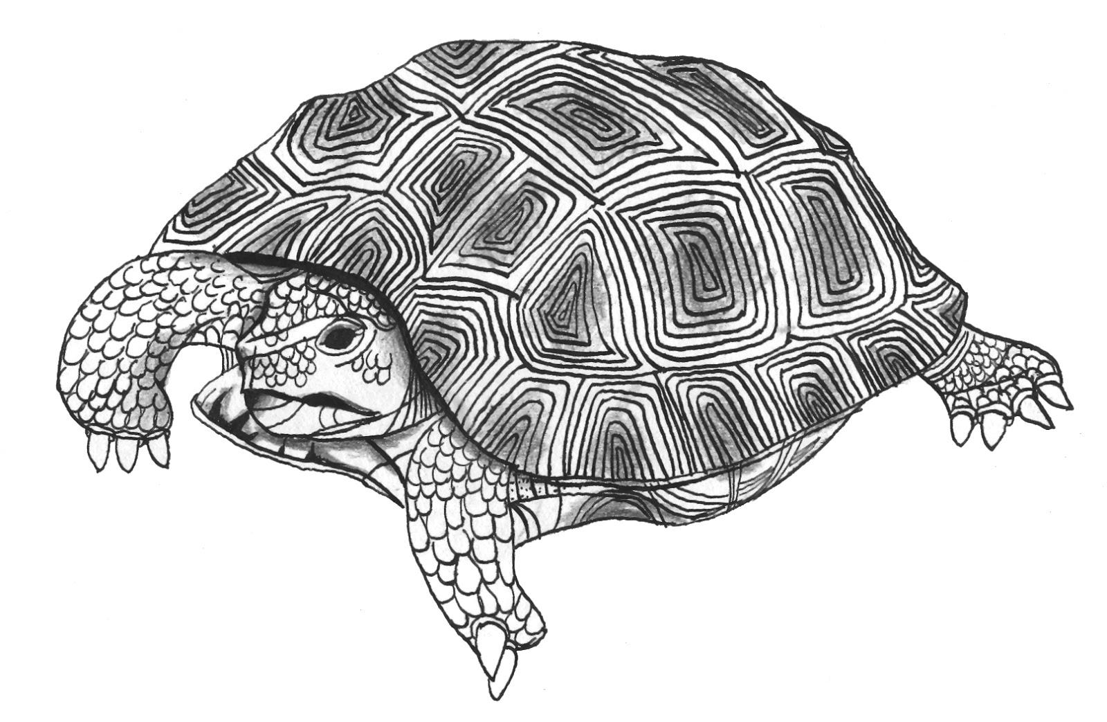 tortoise drawing for pinterest - photo #47