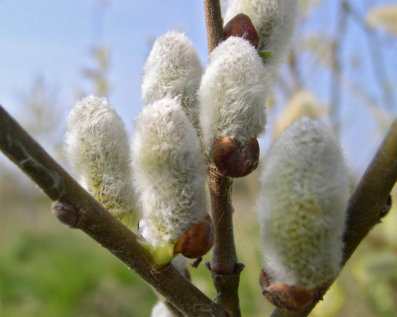 flowers Pussy willow