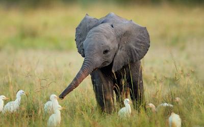 Un bebé elefante jugando con las aves
