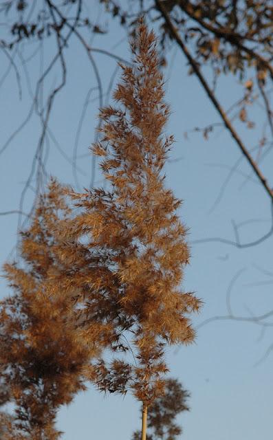 Фото Виталия Бабенко: соцветие тростника