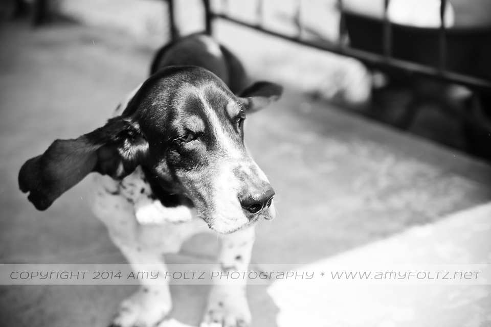 black and white photo of a basset hound - Terre Haute photographer