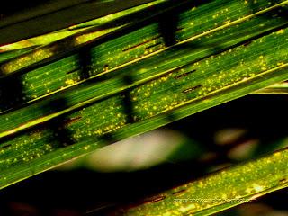 Close-Up-Coconut-Leaf