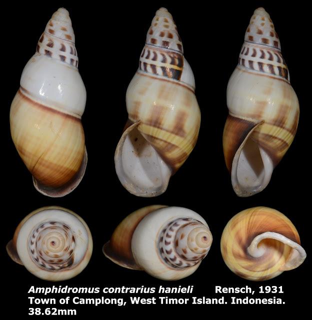 Amphidromus contrarius hanieli 38.62mm