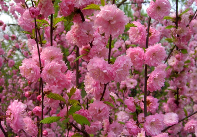 Flowering Almond Flowers
