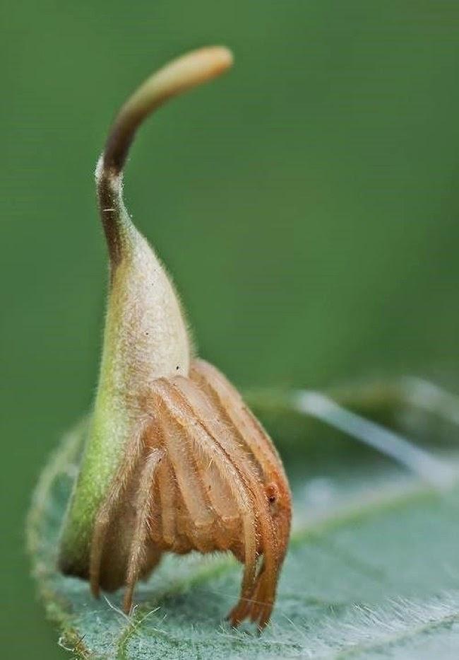 araignee-camouflée