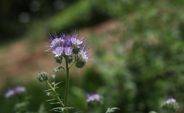 Phacelia Tanacetifolia Flowers Pictures