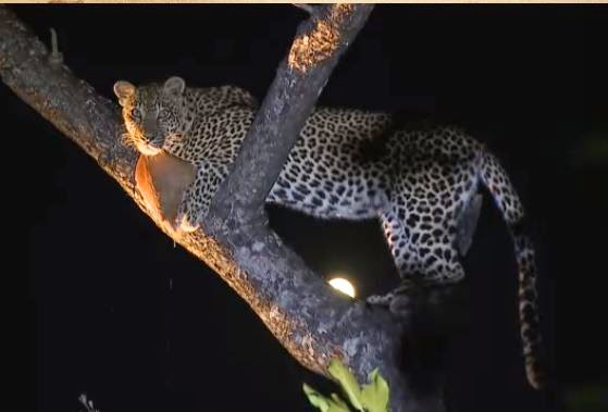Karula on a live virtual African Safari