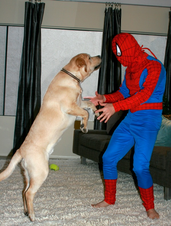 Spiderman Labrador sidekick Cooper