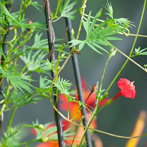 Plantas trepadoras guia de jardin for Plantas trepadoras para muros