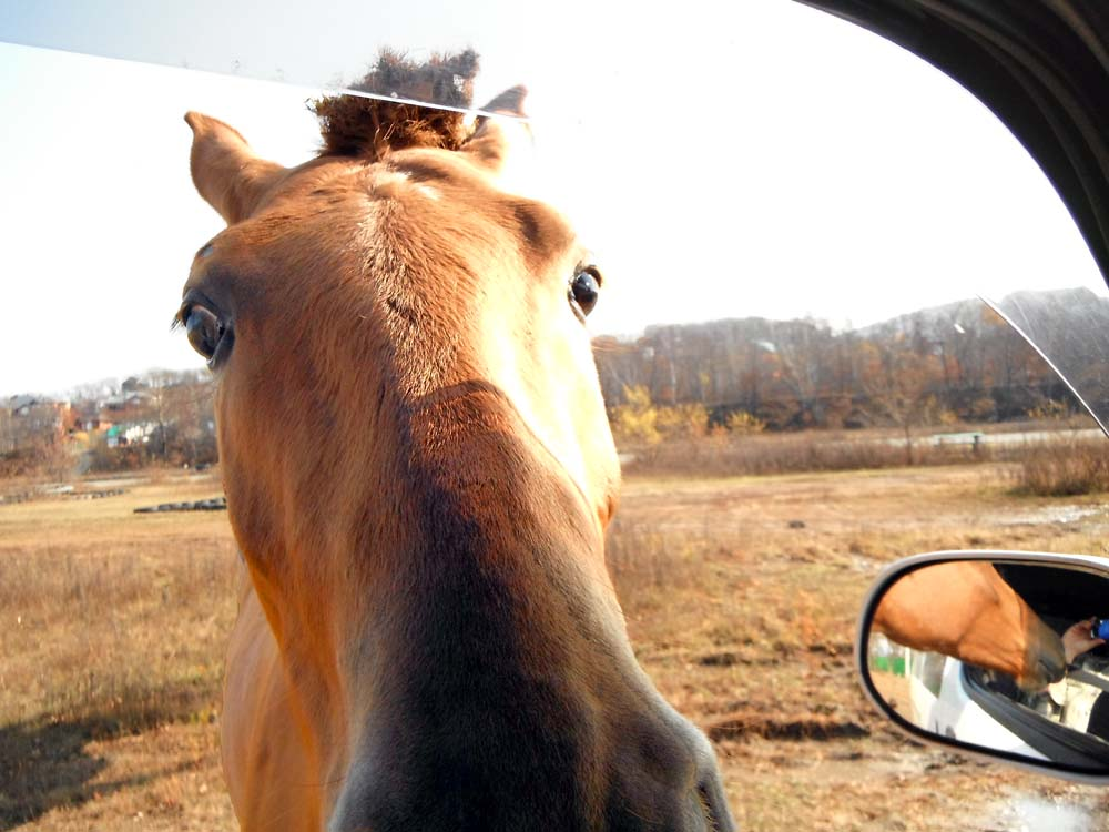 a horse looks for food through the window of a car