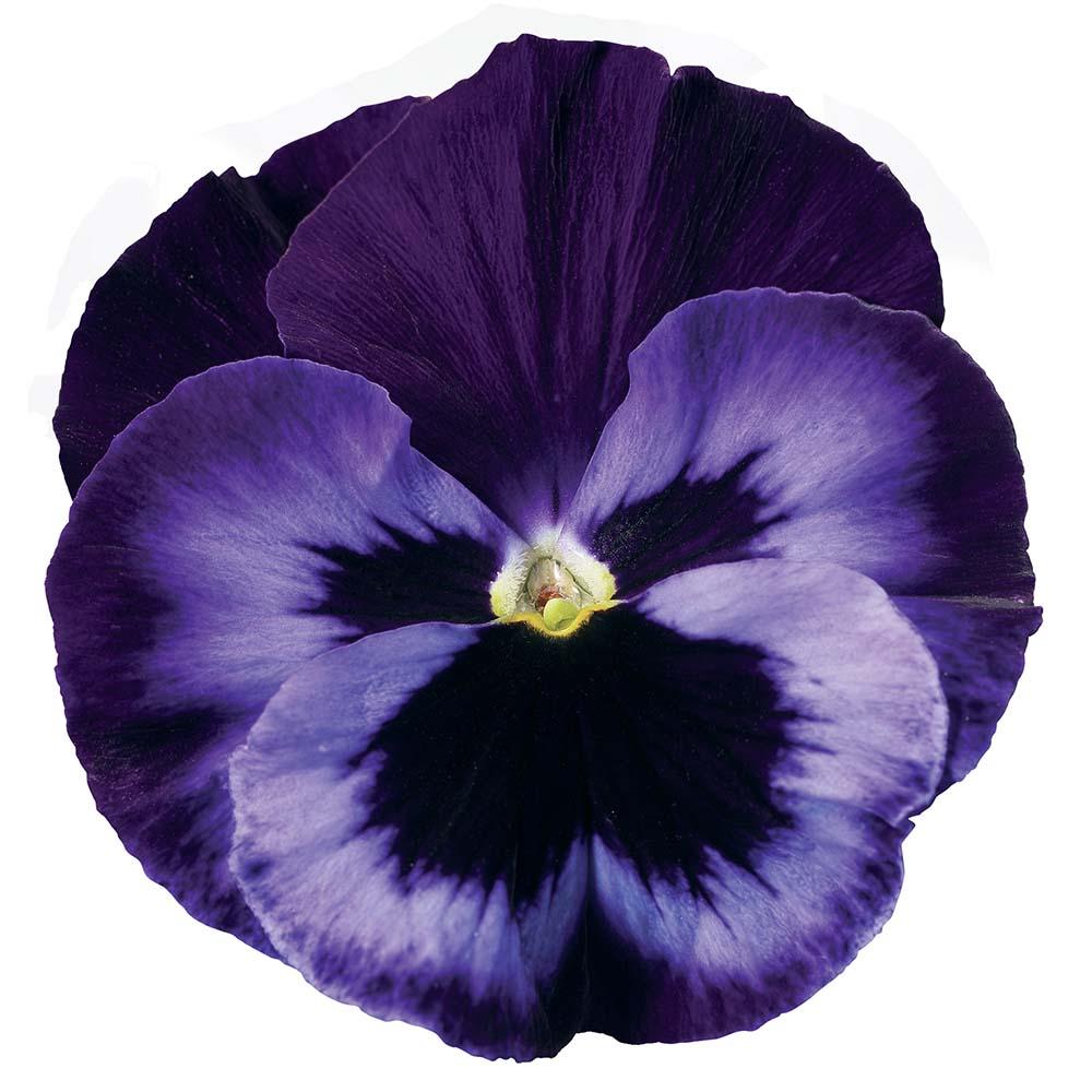 Le viole resistono al freddo flover in the garden www for Viola cornuta inverno