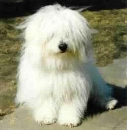 El coton de Tuléar es un hermoso perro malgache de compañía. Su ...