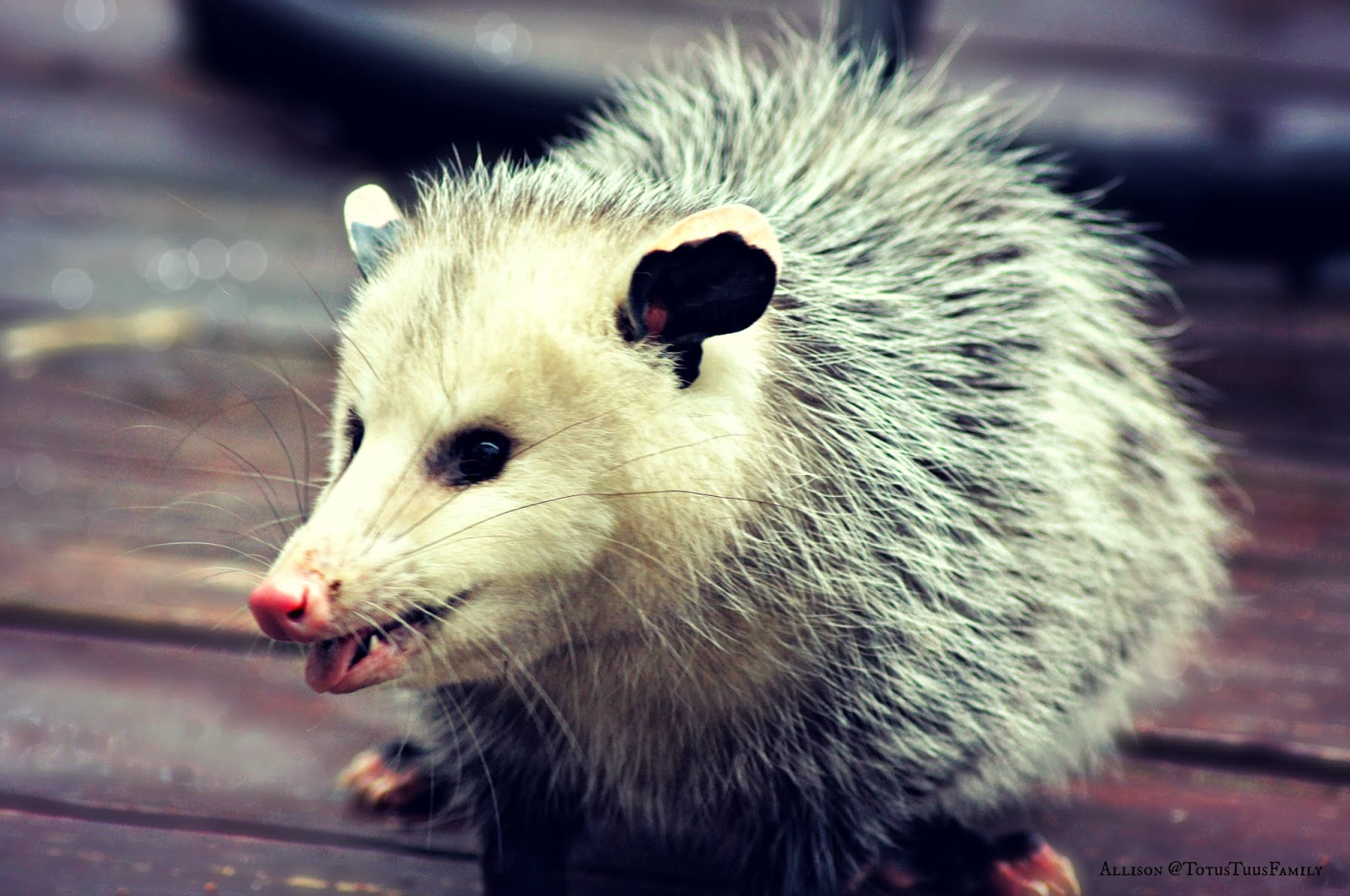 Pictures of possums hanging POSSUM HOME - WIRES Northern Rivers