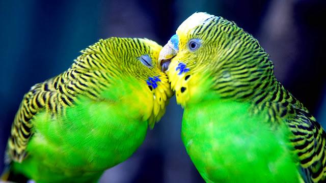 Pericos de Colores en Pareja Fotos de Aves Exoticas