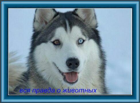 Реферат На Тему Сибирский Углозуб
