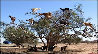 Kambing yang memanjat pohon, hanya dapat ditemukan di Maroko. Kambing ini memanjat pohon karena ingin memakan buah dari Pohon Argan
