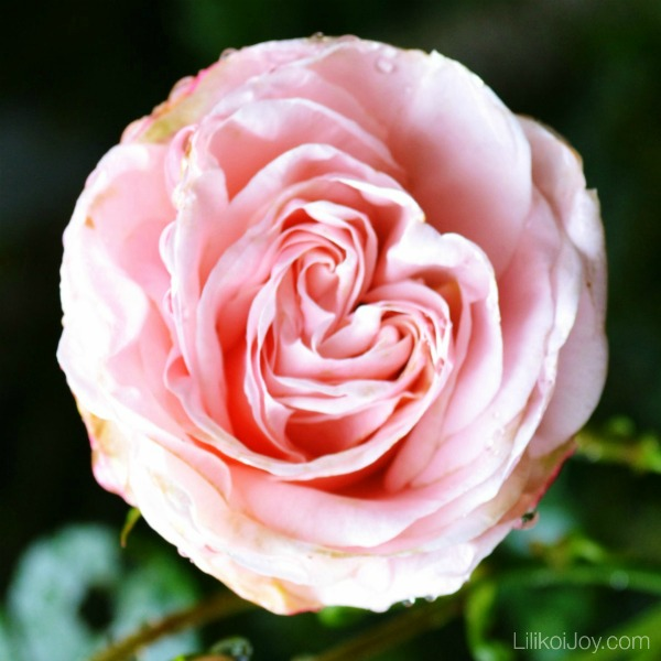 Summer Garden Tour: Pink rose with a heart center