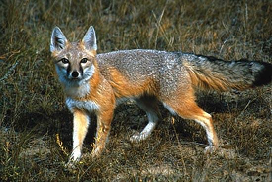Relativ LE BLOG DE ABBES LABDELLI: Les renards EU22