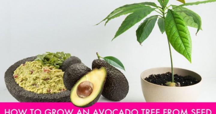 Πώς να καλλιεργήσετε δέντρο αβοκάντο από κουκούτσι