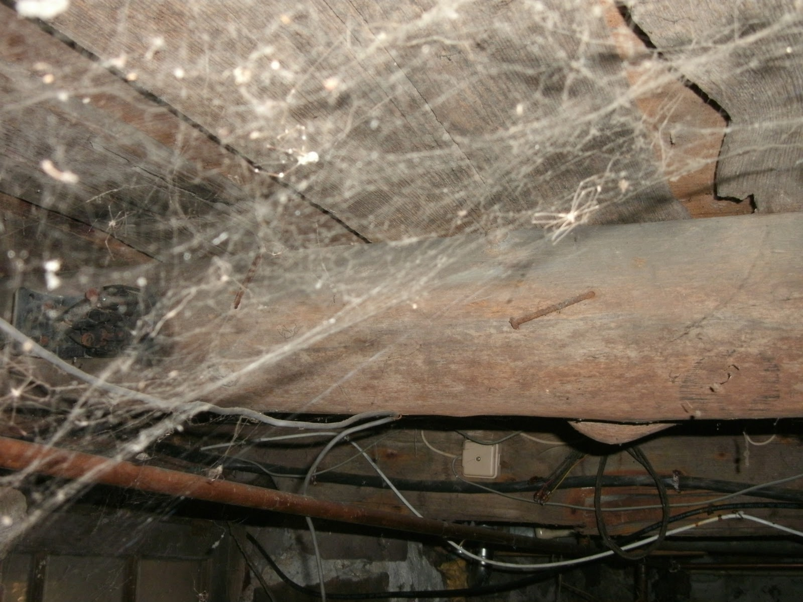 the cellar spiders just in time for halloween the brissioni blog