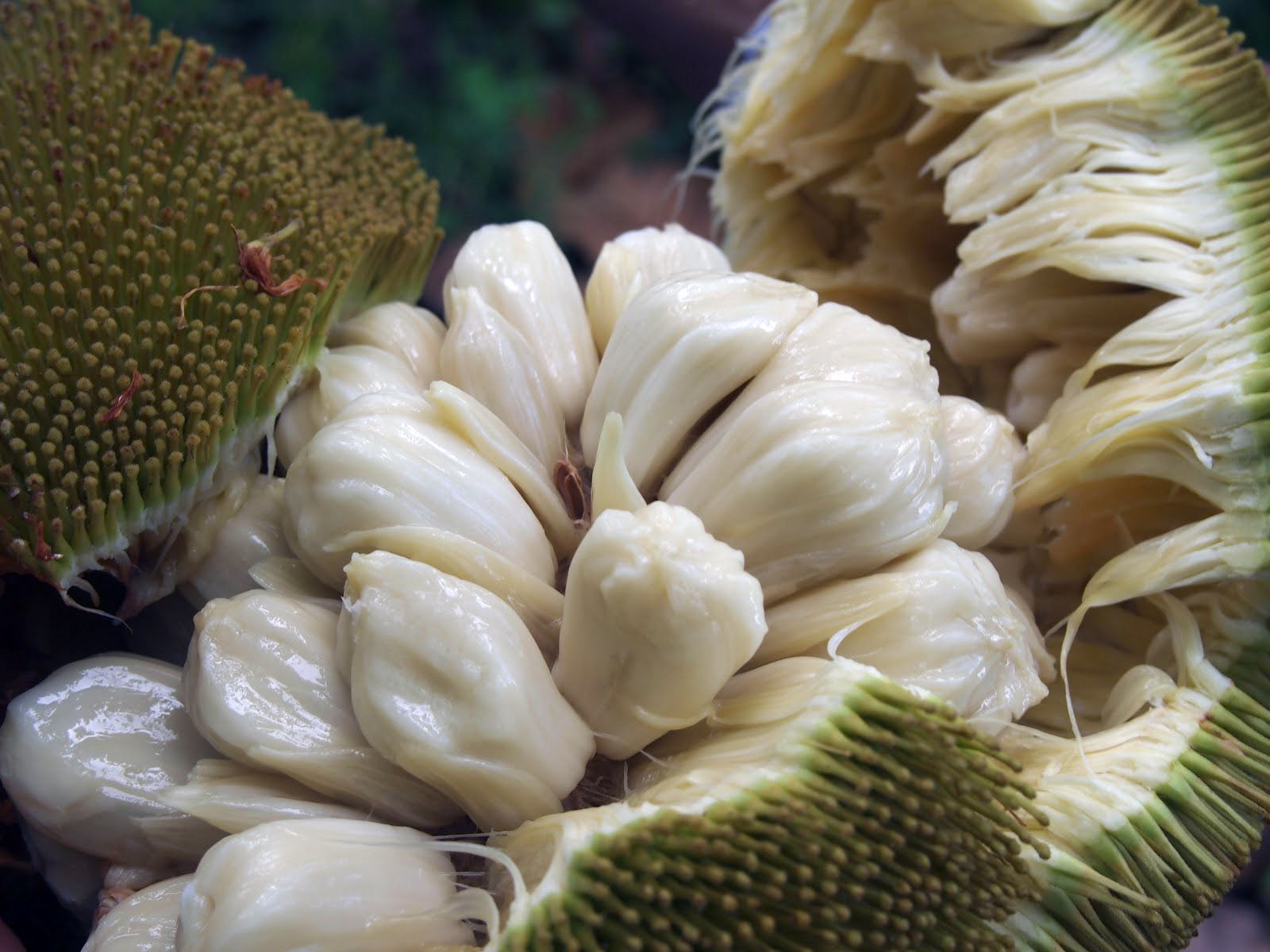 durian fruit in spanish bread fruit