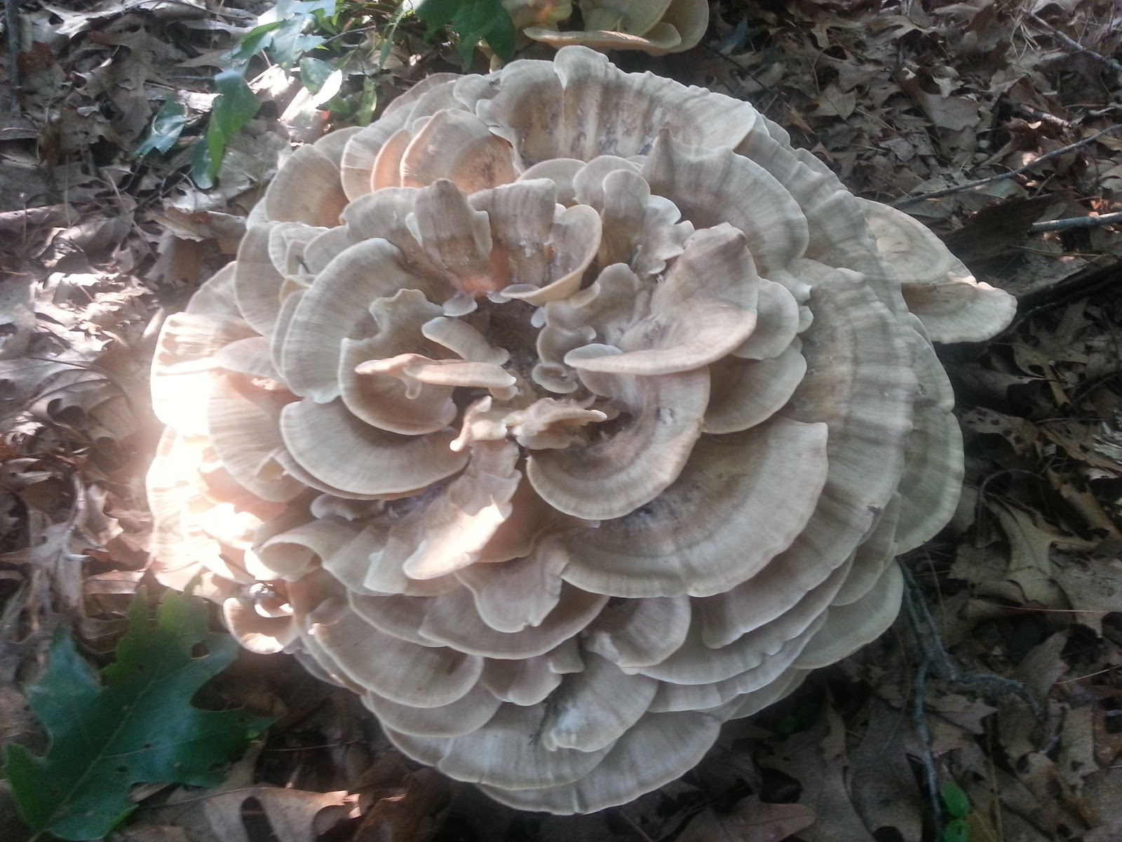 Black-staining Polypore