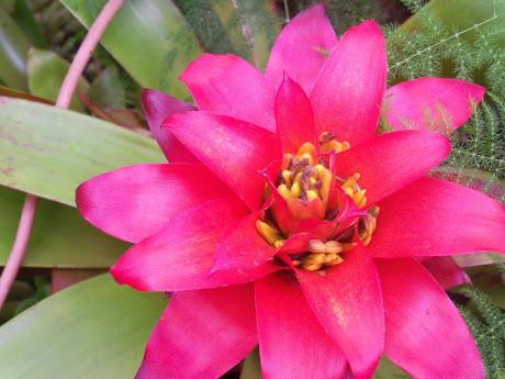 Bromelaids, a tropical plant