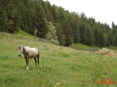 Cal alb in padure