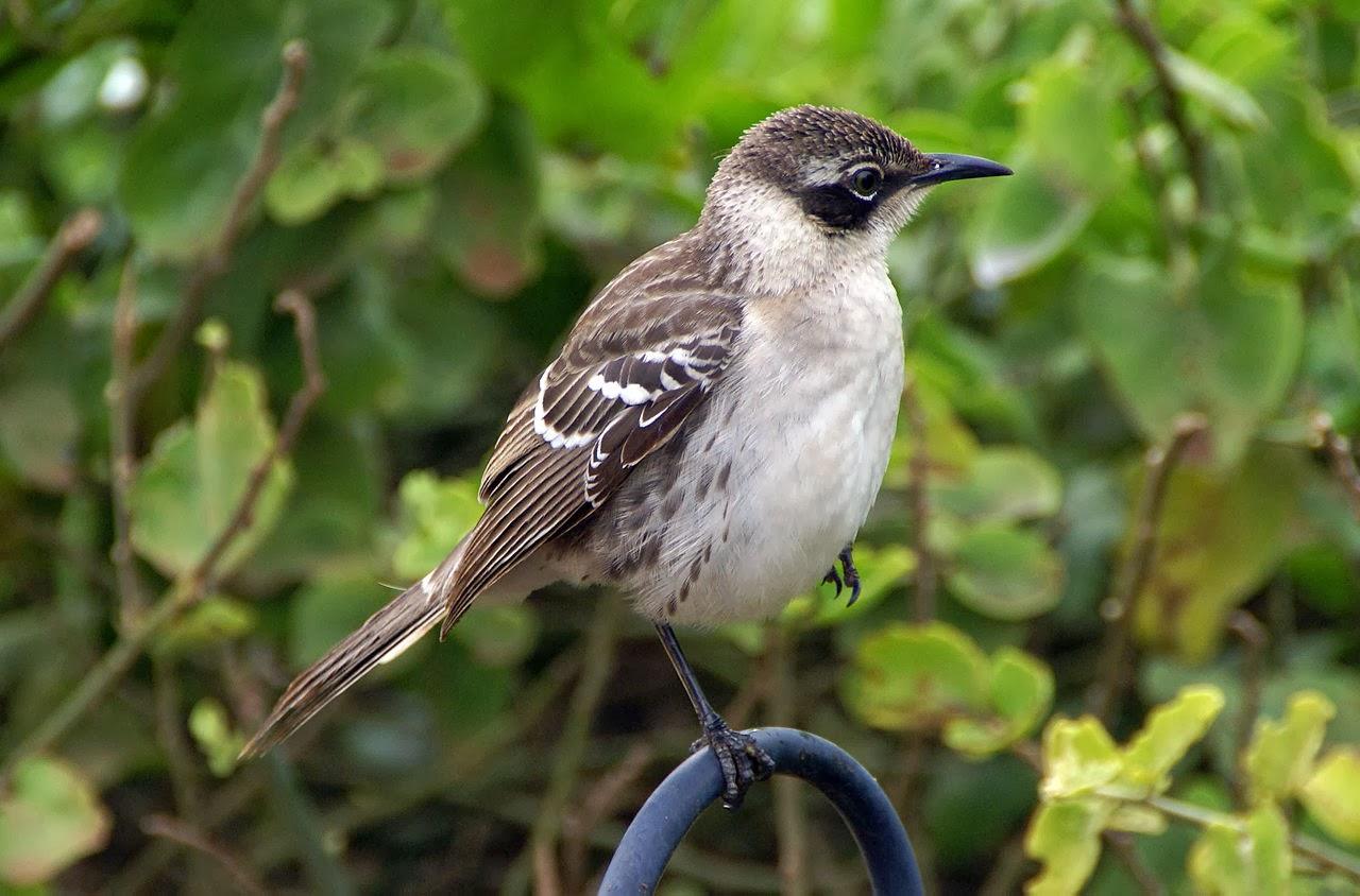 Galapagos Mockingbird Bird