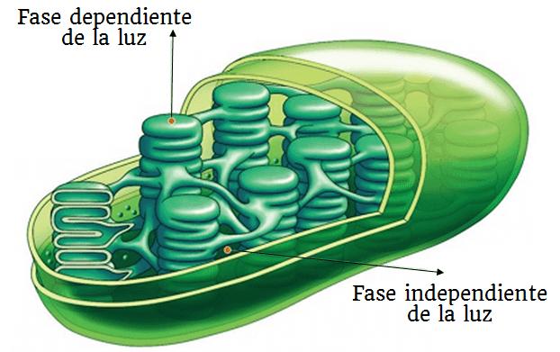 etapas fotosíntesis