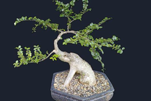 bonsai-serut