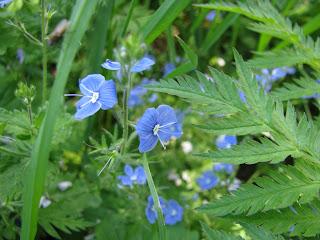 Синенькие маленькие цветочки
