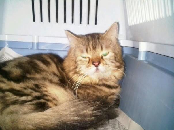 Kucing Parsi Yumida