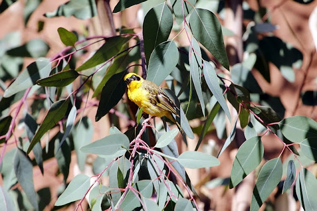 Speke's Weaver  northern Africa