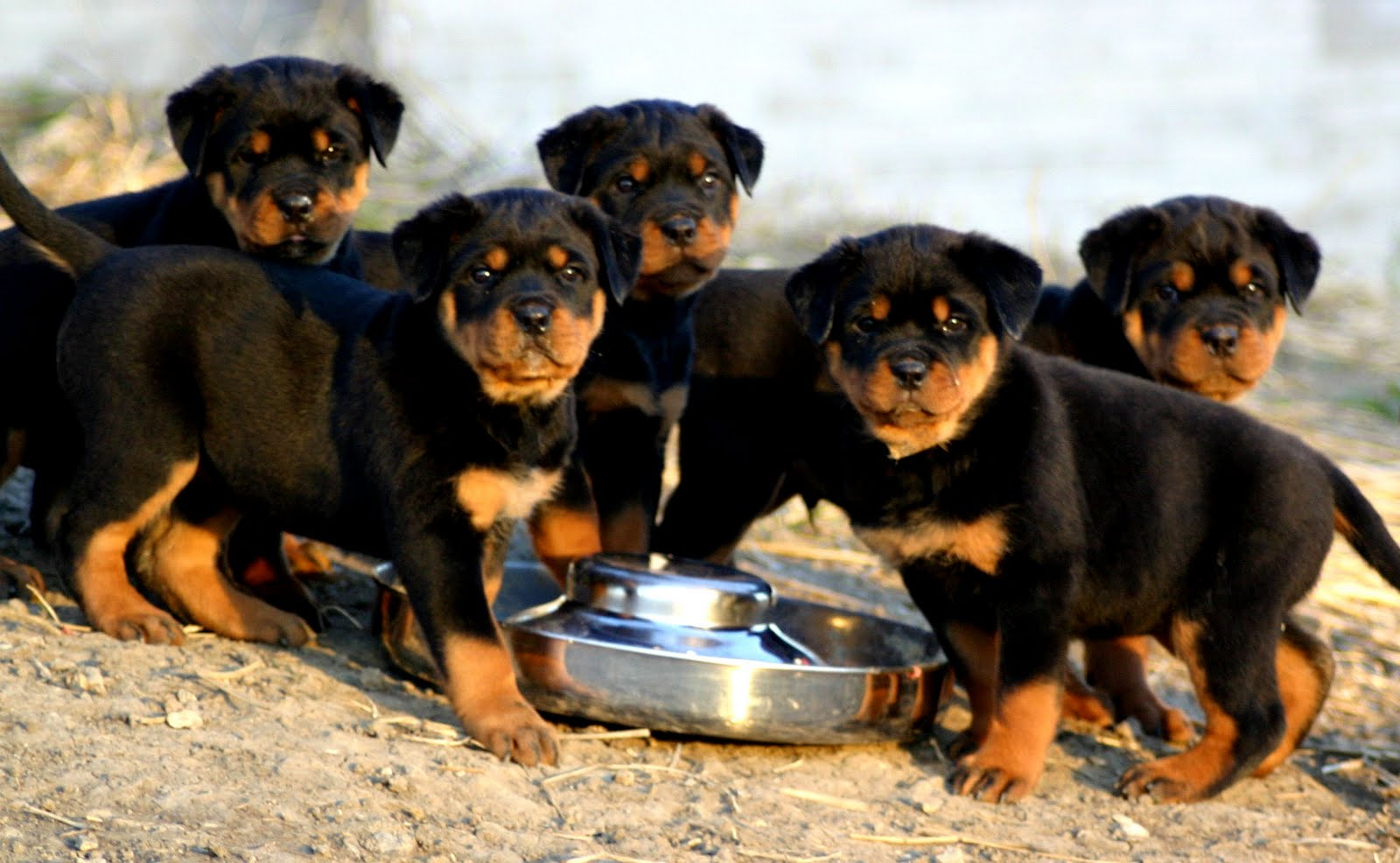 Rottweiler Puppies For Sale now
