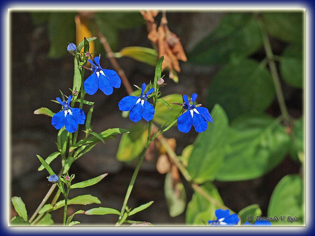 Plantas de la rioja lobelia erinus for Planta venenosa decorativa