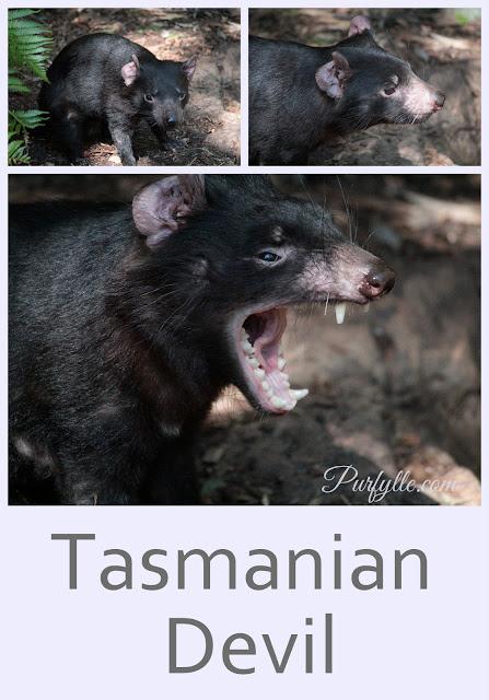 Tasmanian Devil's seen at Perth Zoo's Australian Bushwalk