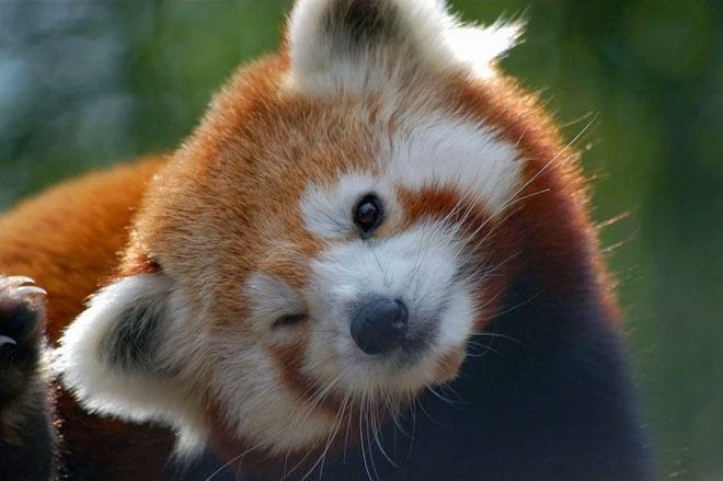 40 Adorable red panda pictures (40 pics), cute red panda tilts his head and gives wink