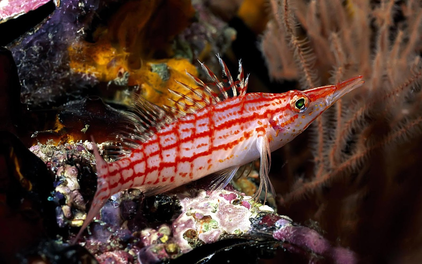 Exotic Fish Wallpaper HD | Free Wallpapers