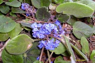 violeta africana florecida