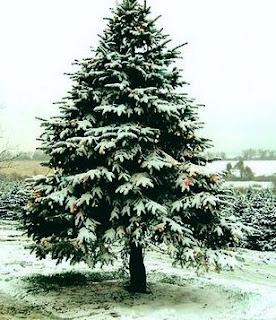 Pino con nevada