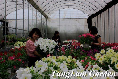 dạ yến thảo, dạ yến thảo rủ, hoa da yen thao kep, hoa dạ yến thảo rủ, dạ yến thảo kép, hoa dạ yến thảo kép, hoa treo, hoa treo ban công, hoa ban công