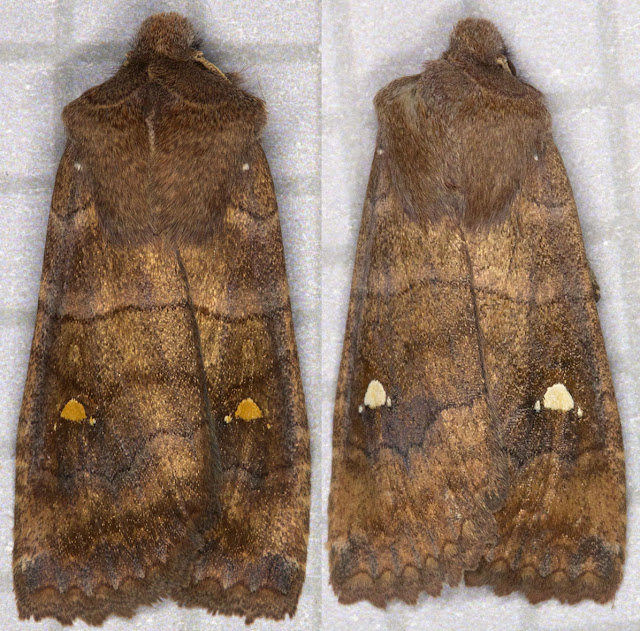 Satellite, Eupsila transversa.  Noctuid.  Left: Moth trap in Hayes, 22 October 2011.  Right: Moth trap at Sevenoaks Wildlife Reserve, 23 October 2011.