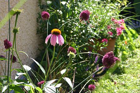 Stauden: Purpur-Sonnenhut Echinacea purpurea 'Magnus' und Kugellauch Allium sphaerocephalum