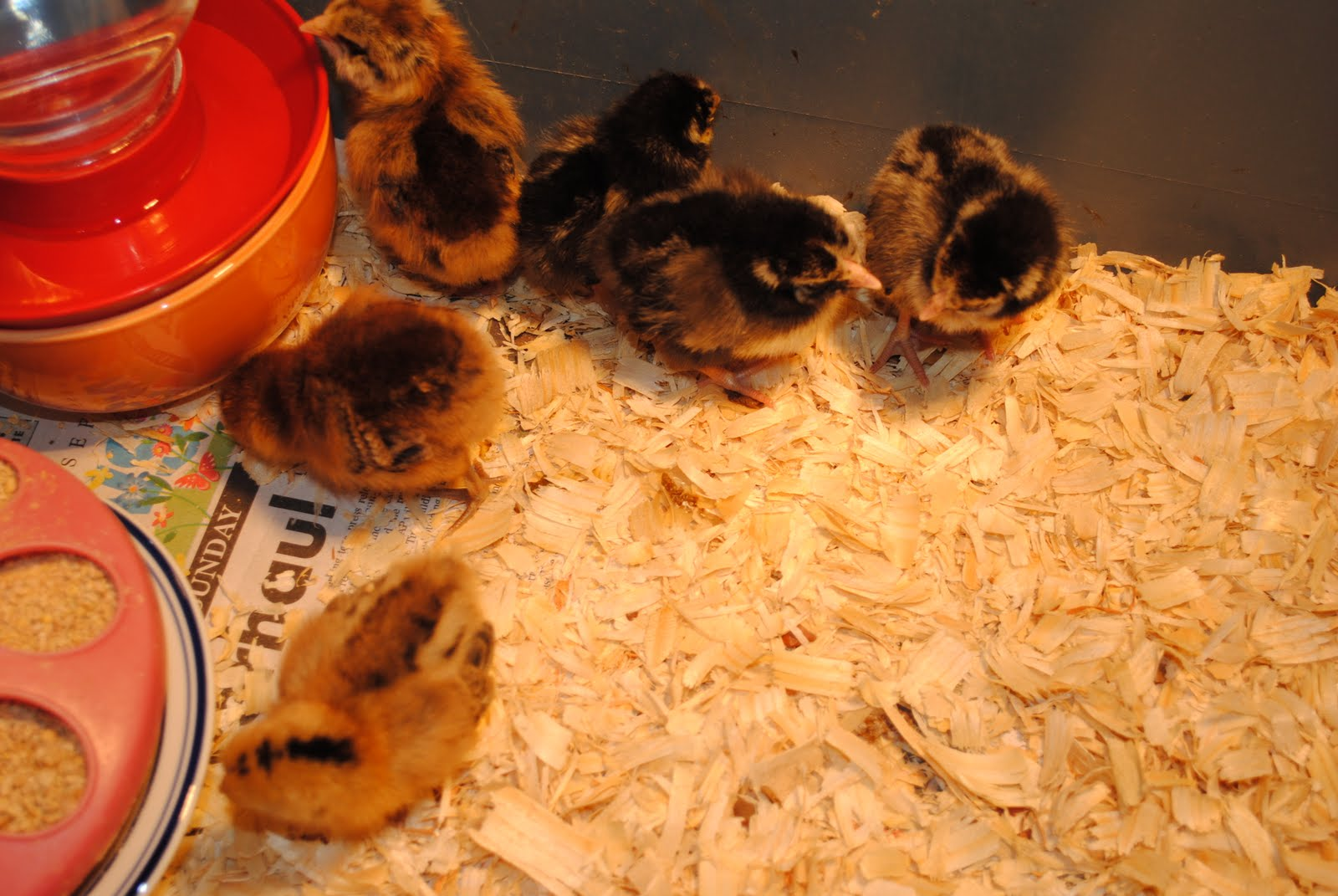 Our new may chicks