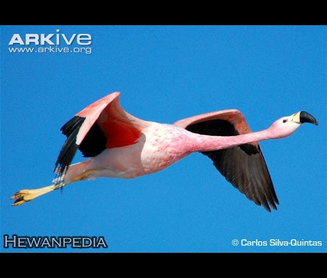 Burung+Flamingo+4 rappets.com