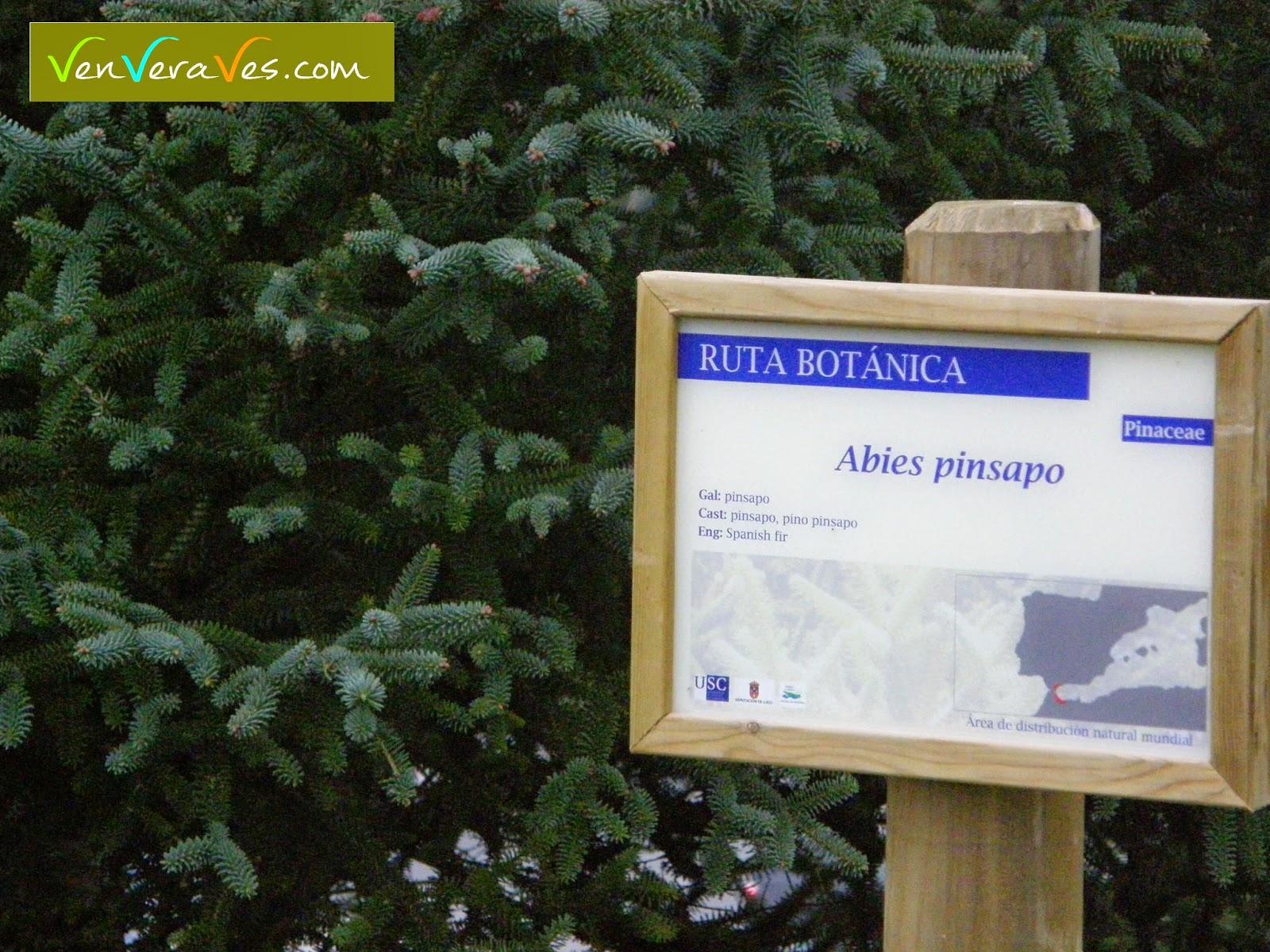 Pinsapo con cartel explicativo en la ruta botanica del campus de Lugo